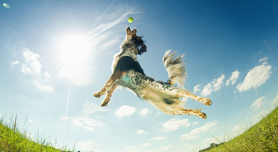 dog jumping for a ball
